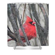 Cardinal With Fluffed Feathers Shower Curtain