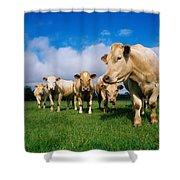 Cattle, Charolais Shower Curtain