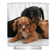 Cavalier King Charles Spaniel Puppies Shower Curtain by Jane Burton