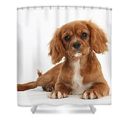 Cavalier King Charles Spaniel Puppy Shower Curtain