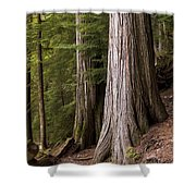 Cedar Trees, Whistler, British Columbia Shower Curtain