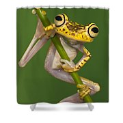Chachi Tree Frog Hypsiboas Picturatus Shower Curtain