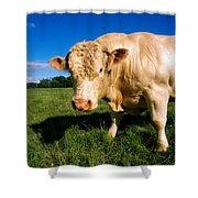 Charolais Bull, Ireland Shower Curtain