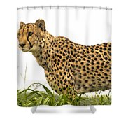Cheetah Hunting Shower Curtain