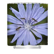 Chicory For Three Shower Curtain