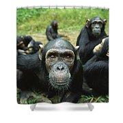 Chimpanzee Pan Troglodytes Female Shower Curtain