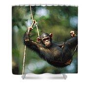 Chimpanzee Pan Troglodytes Resting Shower Curtain