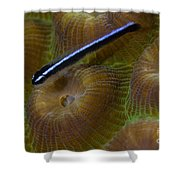 Close-up Of A Goby On Coral, Belize Shower Curtain