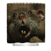 Close Up Of A Rats Fast-growing Teeth Shower Curtain