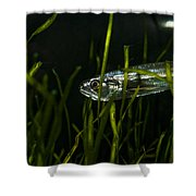Close-up Of A Vampire Tetra Hydrolycus Shower Curtain