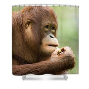 Close-up Of An Orangutan Pongo Pygmaeus Shower Curtain