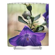 Close View Of A Balloon Flower In Bloom Shower Curtain