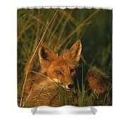 Close View Of A Red Fox At Rest Shower Curtain