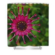 Close View Of A South African Daisy Shower Curtain