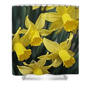 Close View Of Early Spring Daffodils Shower Curtain