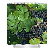 Close View Of Red Grapes On The Vine Shower Curtain
