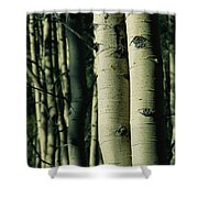 Close View Of Several Aspen Tree Trunks Shower Curtain