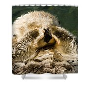 Closeup Of A Captive Sea Otter Covering Shower Curtain