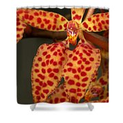 Closeup Of An Orchid, Renanthera Twin Shower Curtain