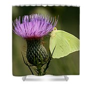 Cloudless Sulfur Butterfly On Bull Thistle Wildflower Shower Curtain