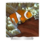 Clown Anemonefish In Anemone, Great Shower Curtain