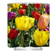 Colorful Bright Tulip Flowers Field Tulips Floral Art Prints Shower Curtain