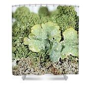 Common Greenshield Lichen Shower Curtain