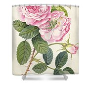 Common Provence Rose Shower Curtain by Georg Dionysius Ehret