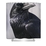 Common Raven, Jasper National Park Shower Curtain