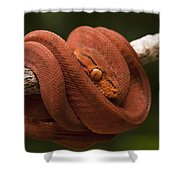 Common Tree Boa Corallus Hortulanus Shower Curtain