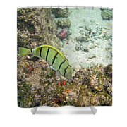 Convict Tang Manini P1060089 Shower Curtain