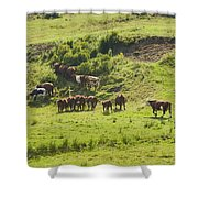 Cows Grazing On Grass In Farm Field Summer Maine Shower Curtain