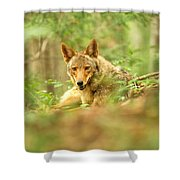 Coyote Caught Napping Shower Curtain