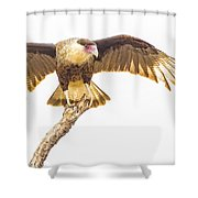Crested Caracara Taking Off Shower Curtain