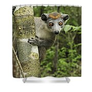 Crowned Lemur Eulemur Coronatus Female Shower Curtain