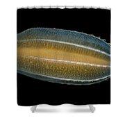 Ctenophore Beroe Cucumis Showing Shower Curtain