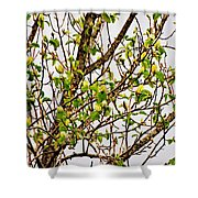 Cucumber Tree Blossoms Shower Curtain