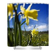 Daffodils In Cezallier. Auvergne. France. Europe Shower Curtain