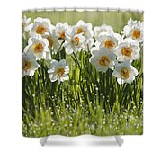 Daffodils In The Dew Covered Grass Shower Curtain