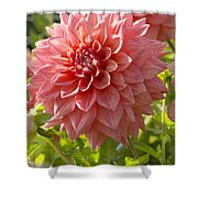 Dahlia Dahlia Sp Beverly Fly Variety Shower Curtain