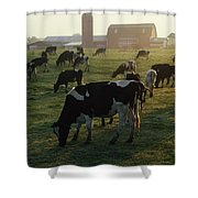 Dairy Cattle Grazing Shower Curtain