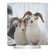 Dall Sheep Ovis Dalli Rams, Yukon Shower Curtain