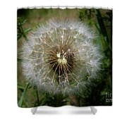Dandelion Going To Seed Shower Curtain
