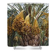 Date Palm In Fruit Shower Curtain
