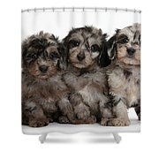 Daxiedoodle Poodle X Dachshund Puppies Shower Curtain by Mark Taylor