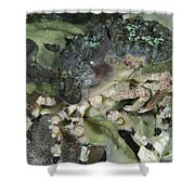 Decorator Crab, Indonesia Shower Curtain