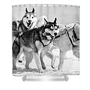 Dogs Leashed To A Chariot Shower Curtain