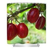 Dogwood Cornus Mas Berries Shower Curtain