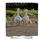 Domestic Geese With Goslings Shower Curtain