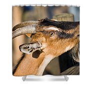 Domestic Goat Shower Curtain